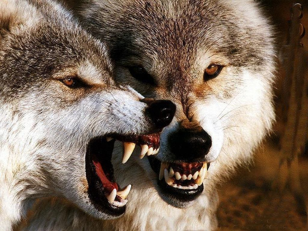 Detailed angry wolf | Wolf drawings | Pinterest | Angry ...